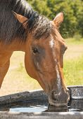 picture of trough  - Red bay horse drinking out of a water trough - JPG