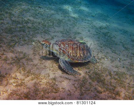 Sea Turtle On The Ground