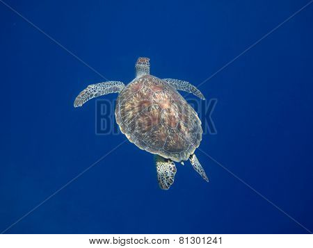 Sea Turtle To The Top
