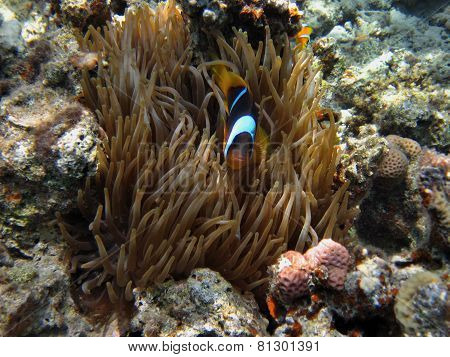 single anemone fish