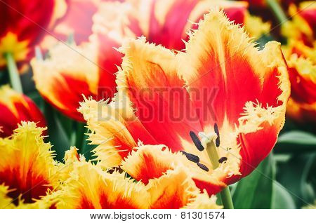 Blooming Spring Tulips