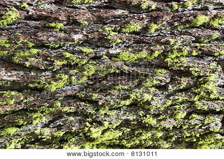 Sequoia Tree Bark Texture