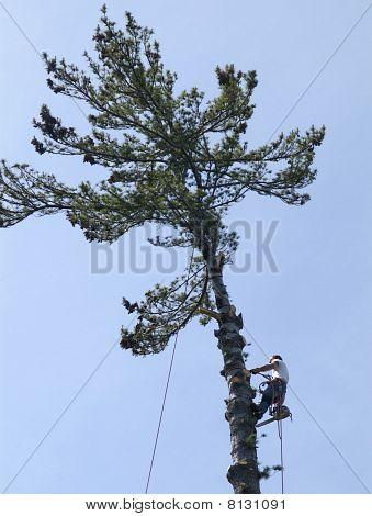 Man climbing large pine tree.