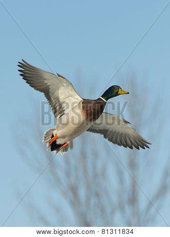 Flying Drake Mallard