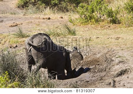 wild young african elephant playing in the mud, Kruger, South Africa