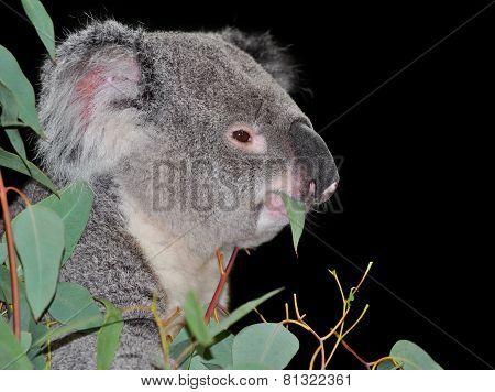 Cute koala eating eucalyptus