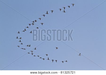 Migrating Birds Flight In Bardia, Nepal