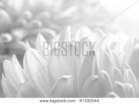 Close Up Image of the Beautiful Chrysanthemum Flower on the White Background. Black and White
