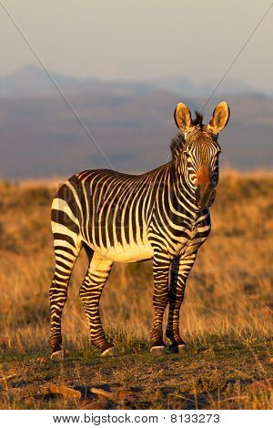 Mountain-zebra
