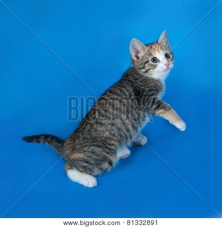 Tricolor Striped Kitten Jumping On Blue