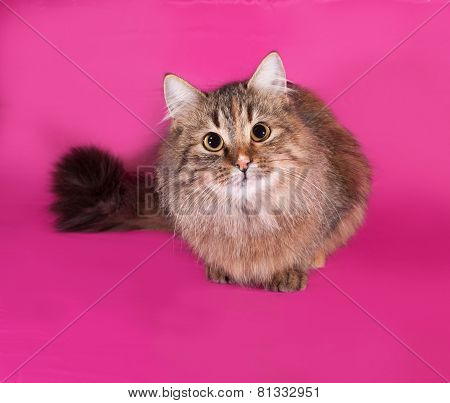 Tricolor Cat Lies On Pink