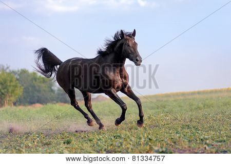 Beautiful big black horse galloping across the field on a background of clear sky and haze.