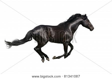 Black horse galloping on white