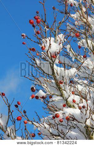 Snow Covered Rose Hip Bush