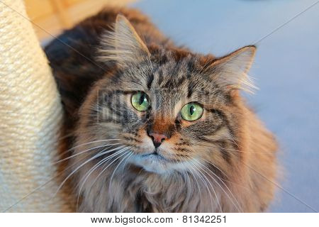 Siberian Pedigree Cat