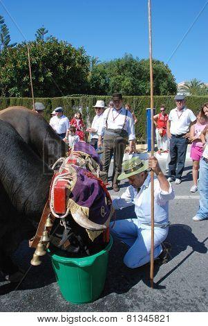 Bulls drinking from buckets, Spain.