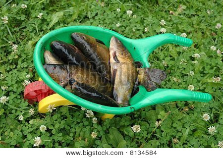 Fresh Fish Tench (tinca Tinca)