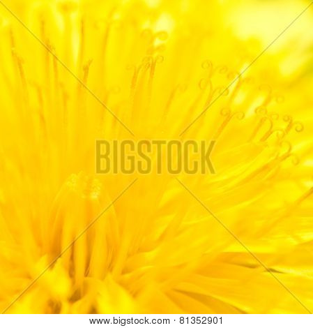 Yellow Taraxacum officinale - background