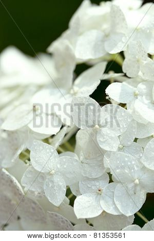 closeup image of white hydrangea with water drops
