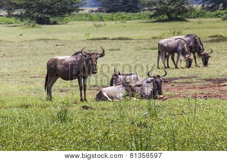 Wildebeests (connochaetes Taurinus) Walking On Line, Ngorongoro Crater, Tanzania