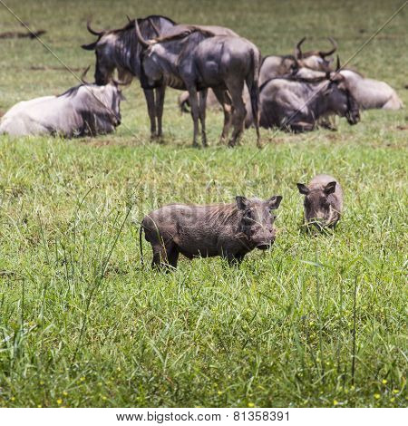 Warthogs Near A Water Hole In Tarangire National Park In Tanzania