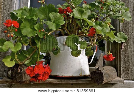 Pot of geraniums on ledge