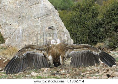Griffon vulture threatening