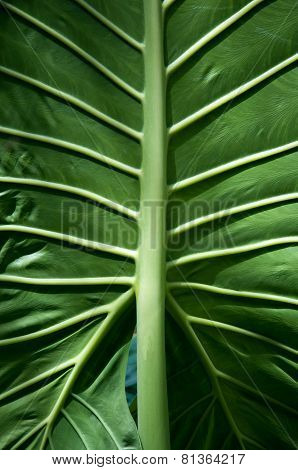 Large green leaf with veins