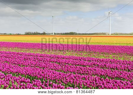 Tulip field in Holland