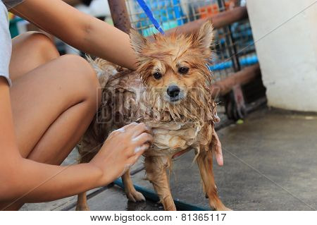 Pomeranian Take A Shower