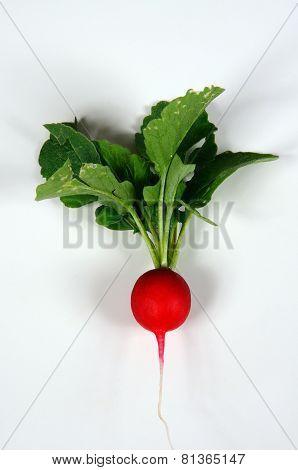Saxa 2 radish.