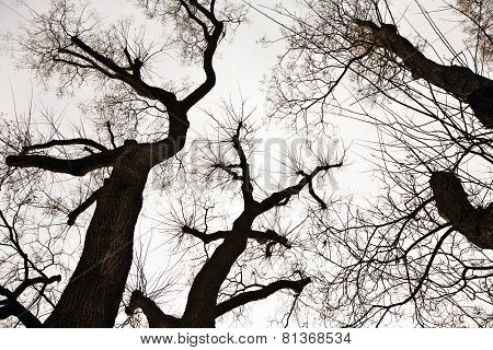 Tree Top, Crown With A Few Leaves In Automs And White Sky