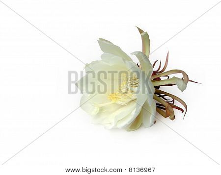 Queen Of The Night Brahma Kamal Five