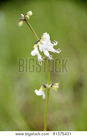 Closeup of White Wild Flower in the Wild