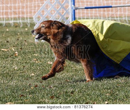 Large dog doing agility