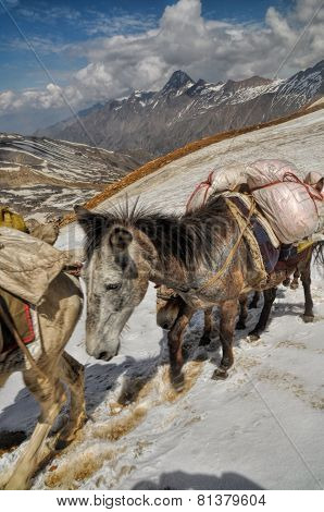 Mules In Himalayas