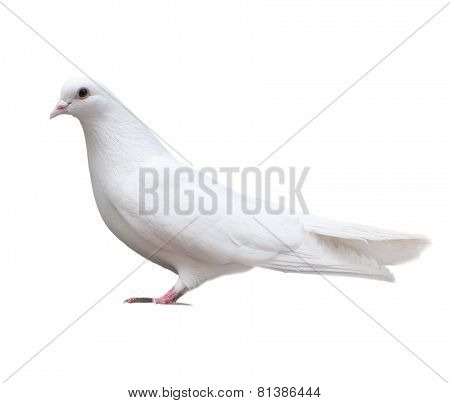 white dove sits isolated