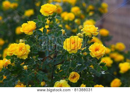 yellow rose briar bush flowers nature background