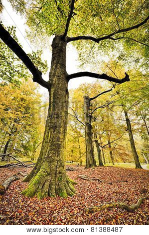 Hdr Shoot Of A Beech Forest In Autumn