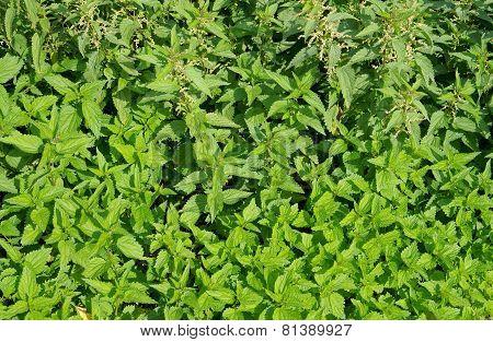 Nettle Is Growing Everywhere