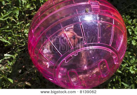Hamster in pink ball on green grass