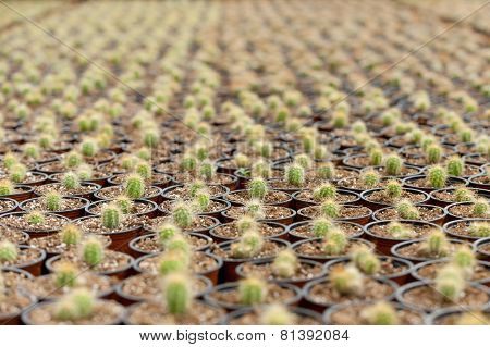 Sea Of Cactus.