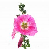 stock photo of hollyhock  - the hollyhock flower isolated on white background