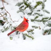 picture of cardinal  - Male Cardinal perched on snow covered branch in snowstorm - JPG