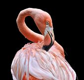 foto of pink flamingos  - Flamingo with beautiful pink plumage against a black background - JPG