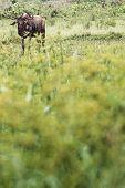 pic of wildebeest  - Wildebeests  - JPG