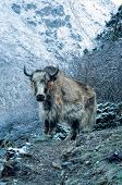 picture of yaks  - Picturesque view of a yak standing on the frozen ground - JPG