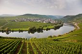 foto of moselle  - vineyards at the hills of the river Mosel edge in summer with fresh grapes - JPG