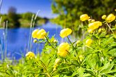 stock photo of day-lilies  - The lilies were just blooming on a warm and sunny day by the river - JPG