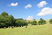 pic of eat grass  - Cows eating grass on the hills  in Bavaria - JPG